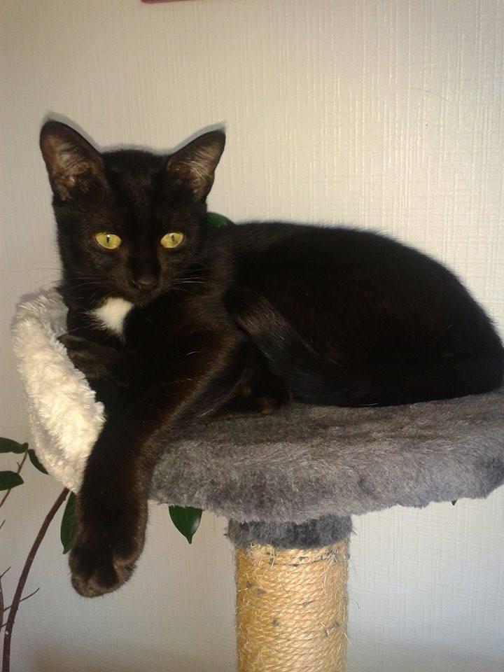 Lorette-chatonne noire et blanche-née le 10/10/2015 14642210