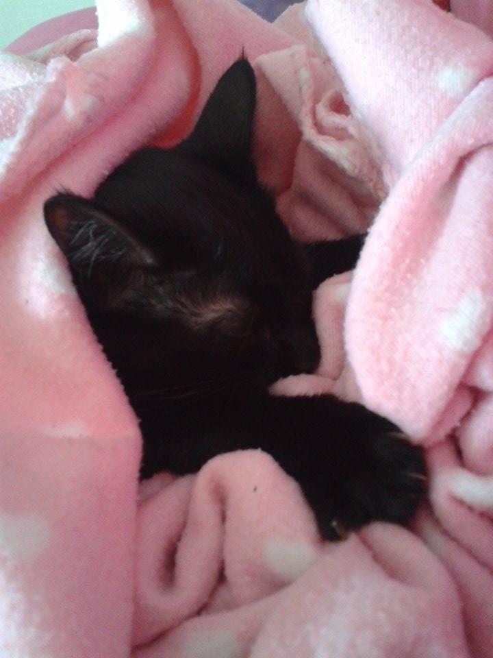 Lorette-chatonne noire et blanche-née le 10/10/2015 14671110