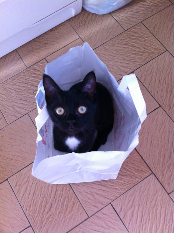 Lorette-chatonne noire et blanche-née le 10/10/2015 14671310