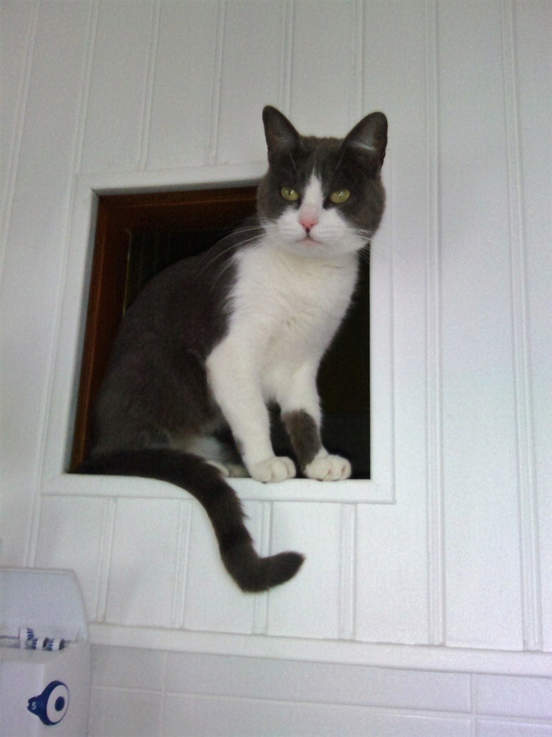 JEFFIE, chatte européenne grise & blanche, née en avril 2014 Chat_010