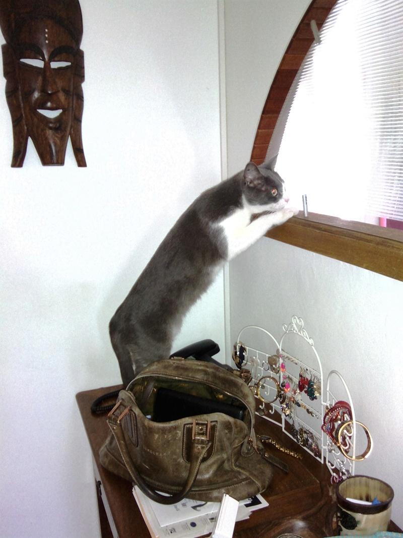 JEFFIE, chatte européenne grise & blanche, née en avril 2014 Chat_011