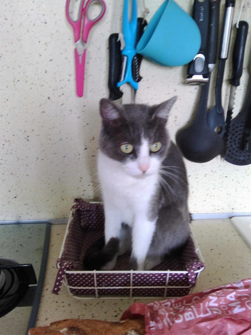 JEFFIE, chatte européenne grise & blanche, née en avril 2014 Chat_012
