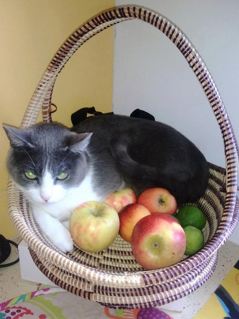 JEFFIE, chatte européenne grise & blanche, née en avril 2014 Chat_014
