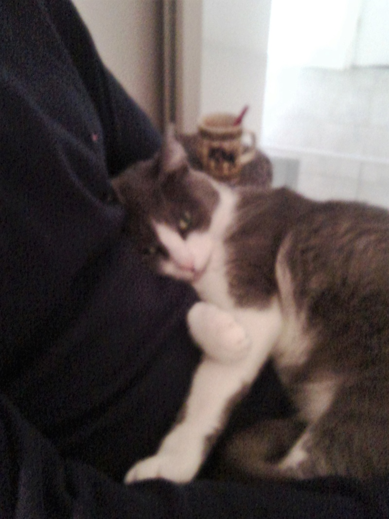JEFFIE, chatte européenne grise & blanche, née en avril 2014 Chat_110