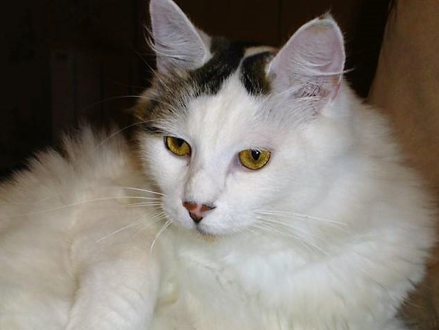 LOUKOUM, chaton Européen  blanc tacheté, à poils longs, né le 20/03/2015 Dsc01211