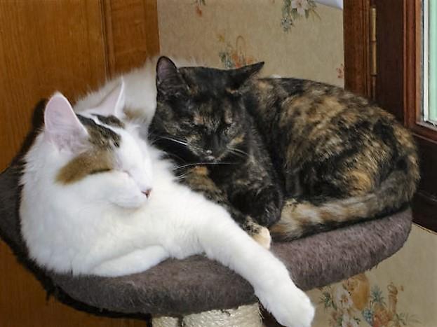 LOUKOUM, chaton Européen  blanc tacheté, à poils longs, né le 20/03/2015 Dsc01212
