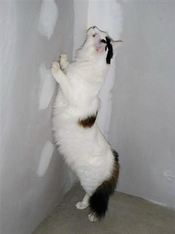 LOUKOUM, chaton Européen  blanc tacheté, à poils longs, né le 20/03/2015 Dsc01311