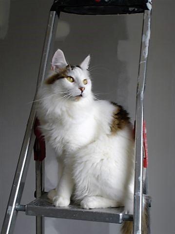 LOUKOUM, chaton Européen  blanc tacheté, à poils longs, né le 20/03/2015 Dsc01312
