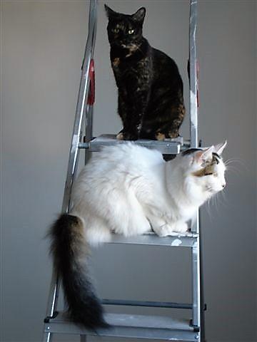 LOUKOUM, chaton Européen  blanc tacheté, à poils longs, né le 20/03/2015 Dsc01313