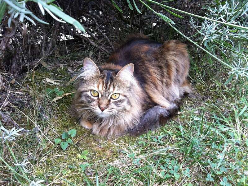 LOLITA-femelle tigrée angora-née le 22/08/2015 Img_0813