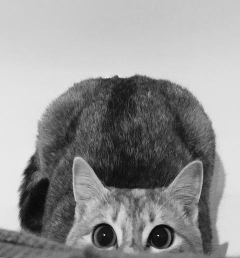 LOXI, chatonne tigrée crème/grise, née le 01/05/15 Inconn11