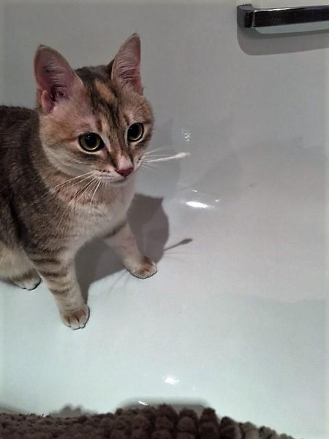 LOXI, chatonne tigrée crème/grise, née le 01/05/15 Inconn14
