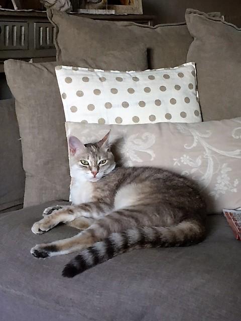 LOXI, chatonne tigrée crème/grise, née le 01/05/15 Inconn19
