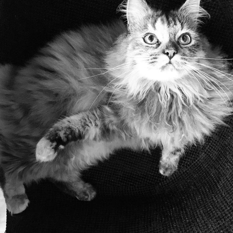 LOUCHKA-femelle écaille angora-née le 22/08/2015 Unname16
