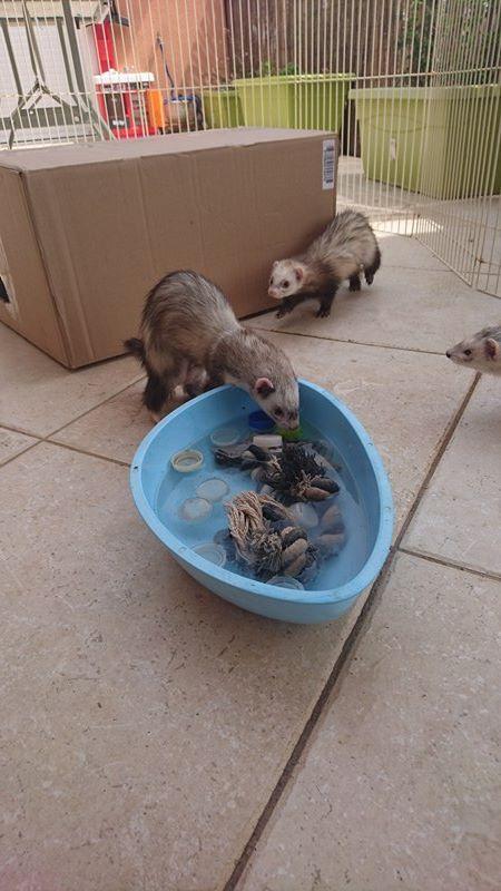 Adoptées - Blanche et Cannelle - Les furets des calanques 14017710