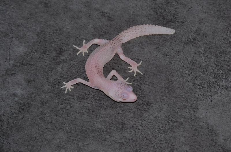 Geckos léopards de l'année 14711610