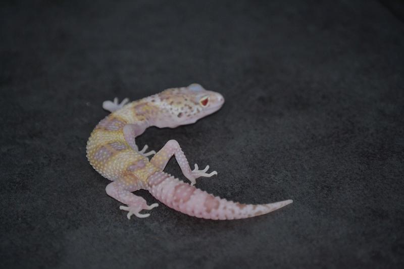 Geckos léopards de l'année Dsc_0010
