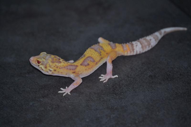 Geckos léopards de l'année Dsc_0011
