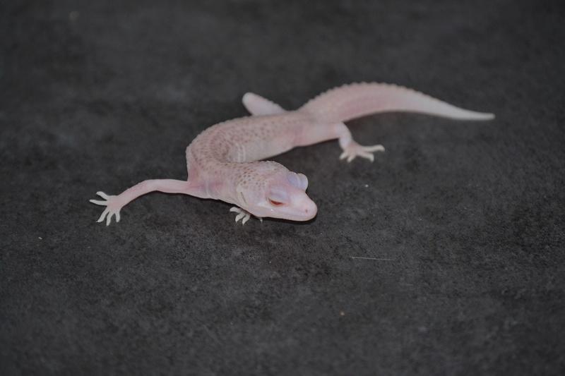 Geckos léopards de l'année Dsc_0012