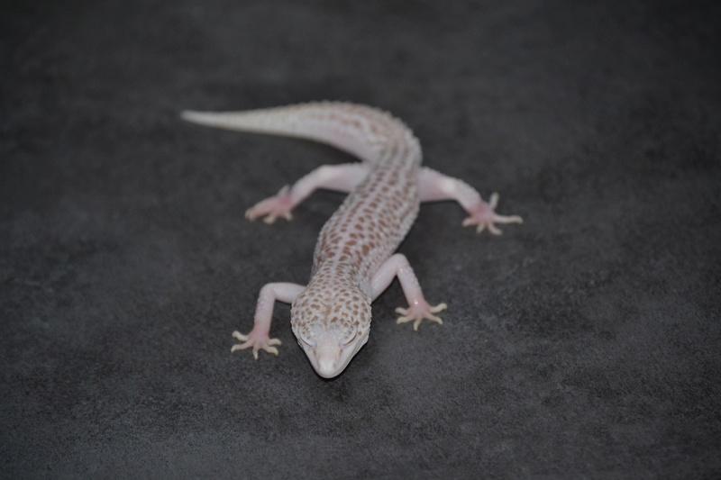 Geckos léopards de l'année Dsc_0013