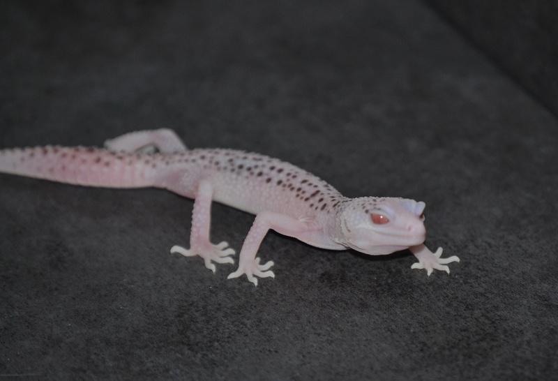 Geckos léopards de l'année Dsc_0014