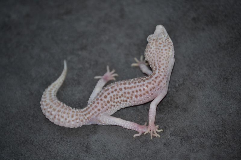 Geckos léopards de l'année Dsc_0015