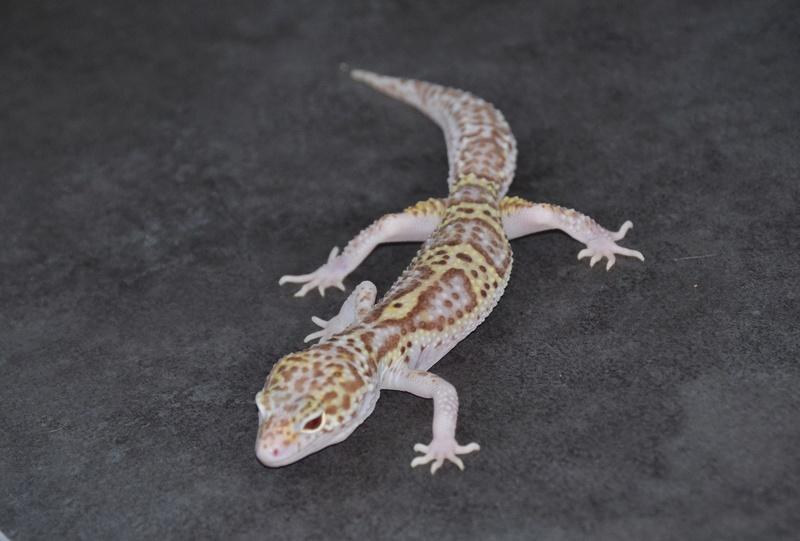 Geckos léopards de l'année Dsc_0016