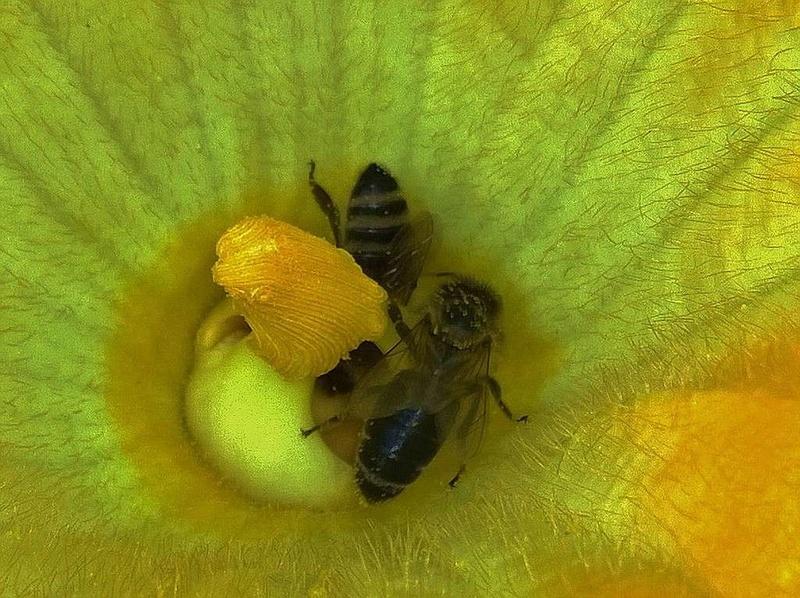 Kürbisgewächse - Cucurbitaceae: Melonen, Gurken, Kürbisse und Zucchini - alle Verteter der nichtsukkulenten Arten - Seite 2 Kyrbis11