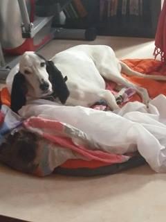 CHENOA chienne x ariegeois ?  sortie de la rue à La Réunion - en FA pour  asso SOS chiens de France (95) 14872610