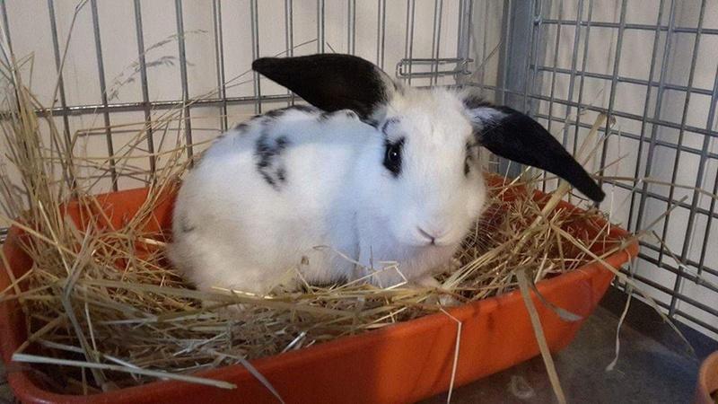 Sauvetage de lapins  RP 78 Lapin310