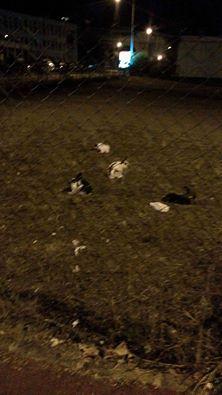 Sauvetage de lapins  RP 78 Lapins10