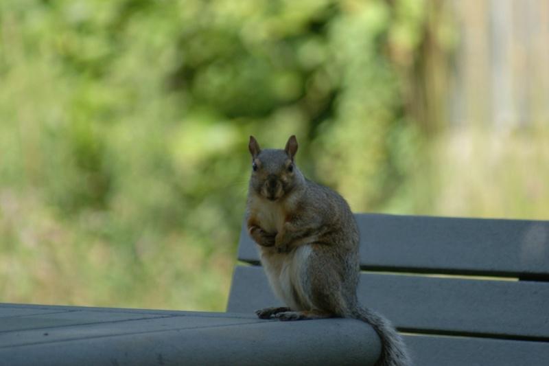L'attente de l'écureuil Longue11