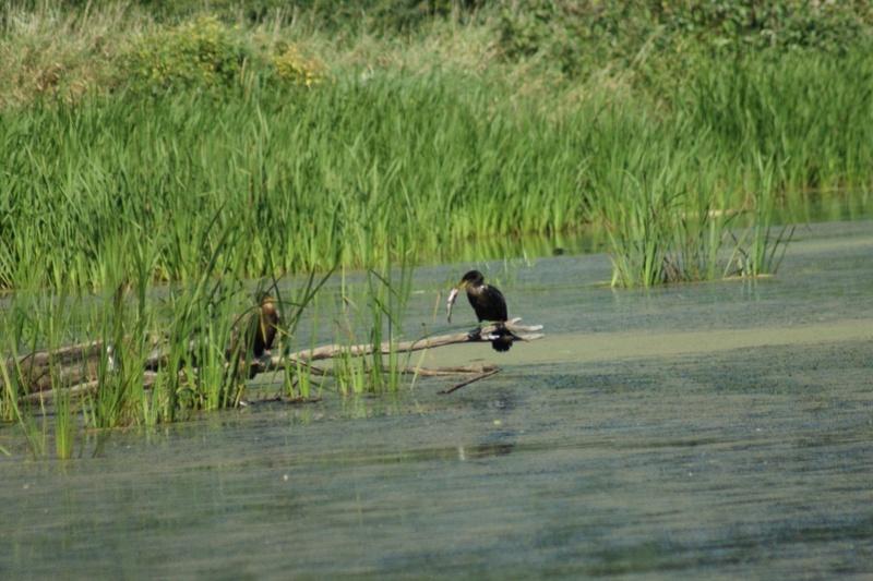 Les prises des cormorans Parc_d16
