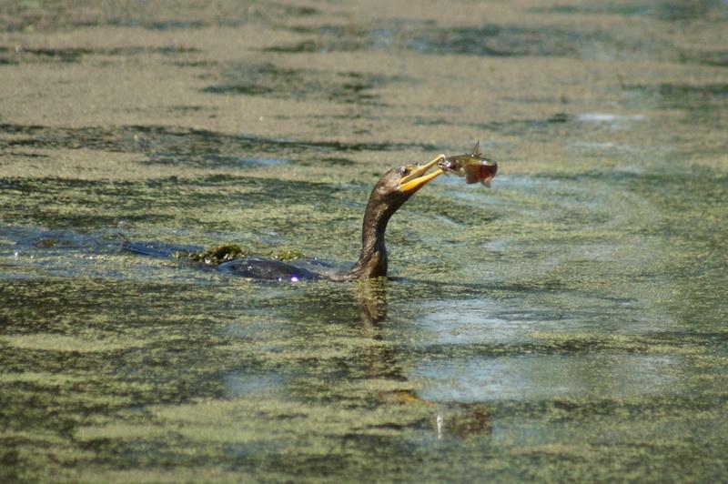 Les prises des cormorans Parc_d17