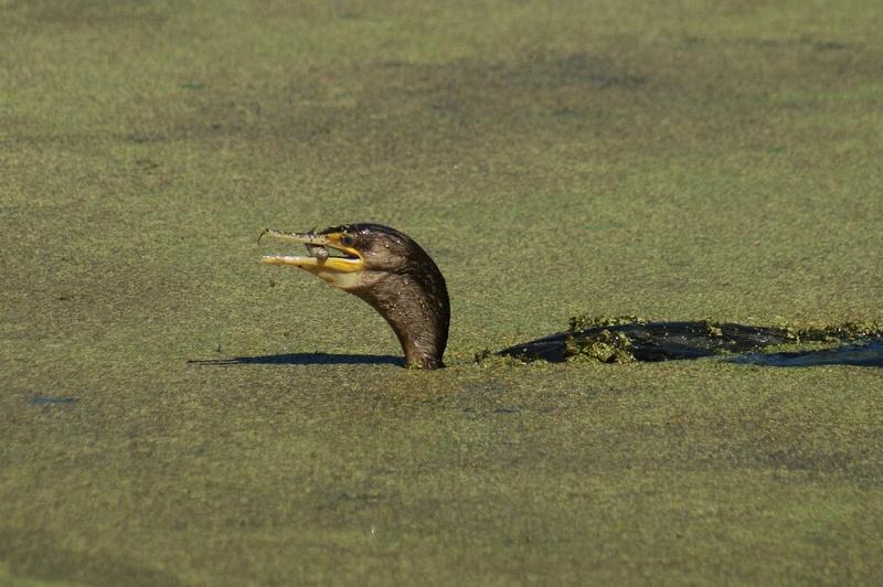 Les prises des cormorans Parc_d18