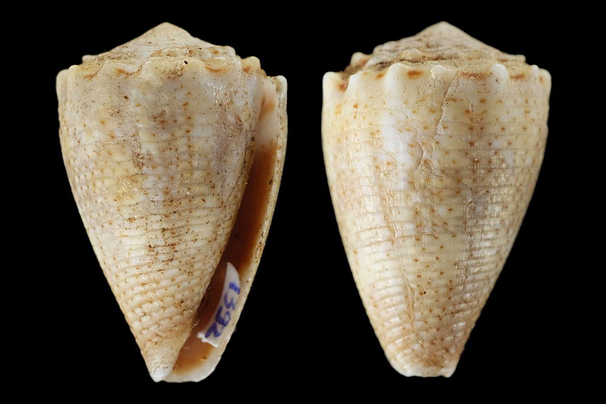 Conus (Virroconus) encaustus Kiener, 1845 Conus_10