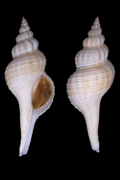 Fusinus ansatus - (Gmelin, 1791) Fusinu12