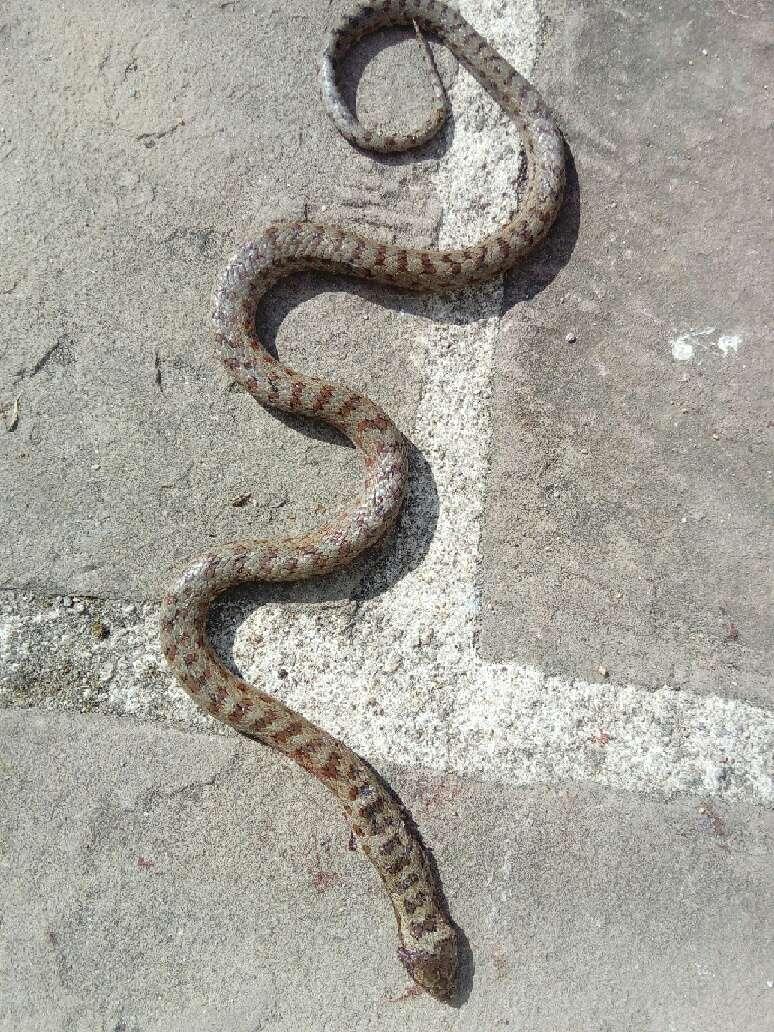 serpent vosgien Mms_2010