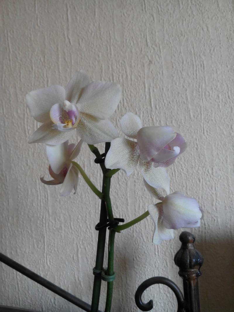Phalaenopsis : Transmission du caractère pellorique. Img_2010