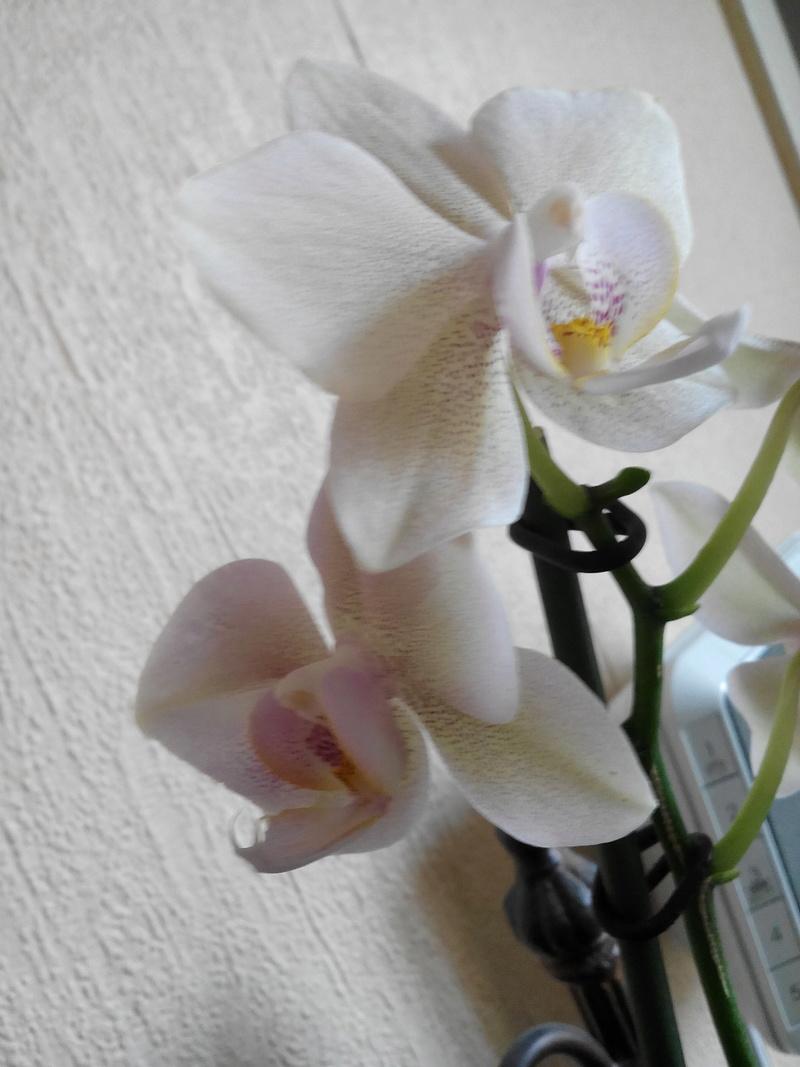 Phalaenopsis : Transmission du caractère pellorique. Img_2011