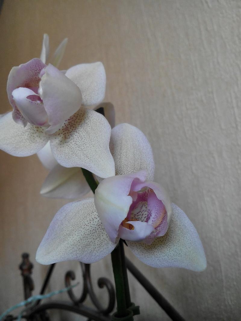 Phalaenopsis : Transmission du caractère pellorique. Img_2012