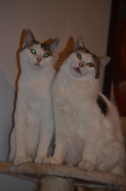 DIXIE - Tabby et Blanche - Née le 23/04/2015 - En FA dans le 80 Dsc_0947