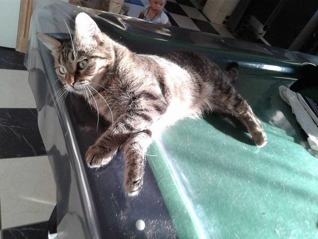 XENA - Tabby - Née le 01/05/2015 - En FA dans le 60 Xyna210