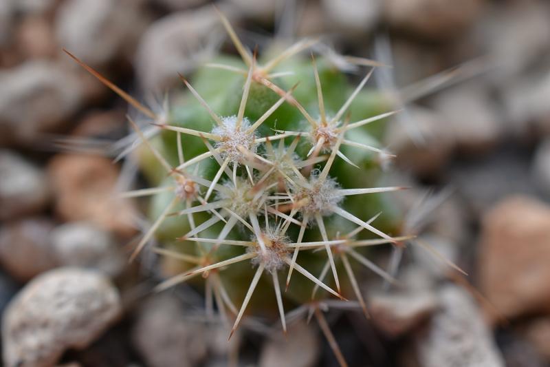 Mammillaria brandegeei ssp. glareosa Brandg10