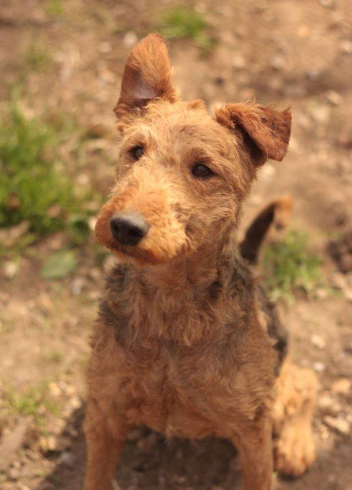 FAUST - airedale 8 ans - AVA à Cuy St Fiacre (76) 15826610
