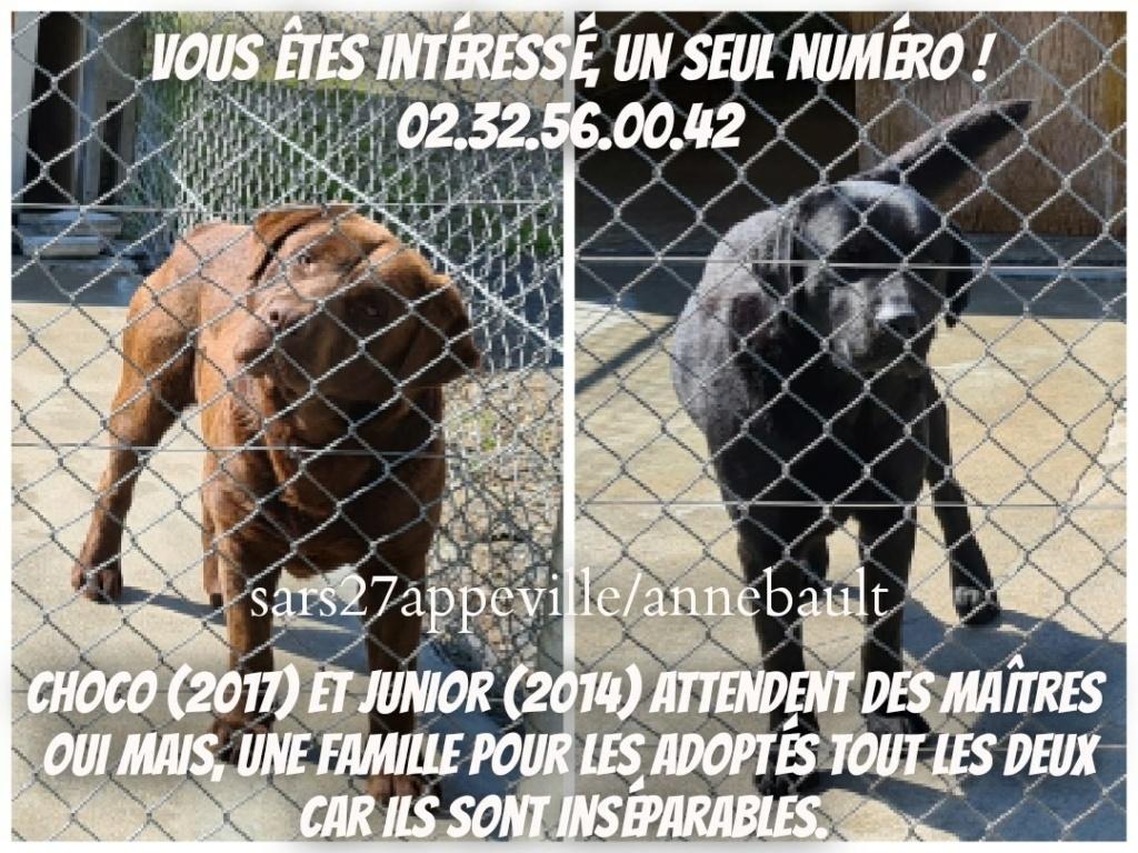 COCO 4 ans et JUNIOR 7 ans - labrador - Refuge de l'Esperance à Appeville Annebault (27) 17580710