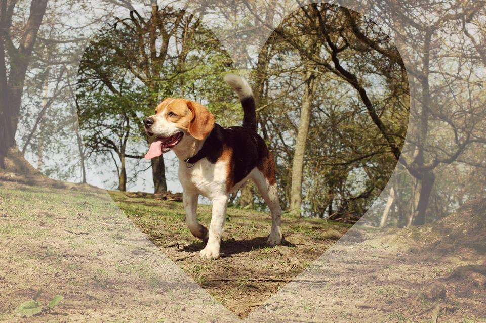 J'JASPER du Clox Machard dit POLLO - beagle 4 ans - AVA à Cuy St Fiacre (76) 18034210