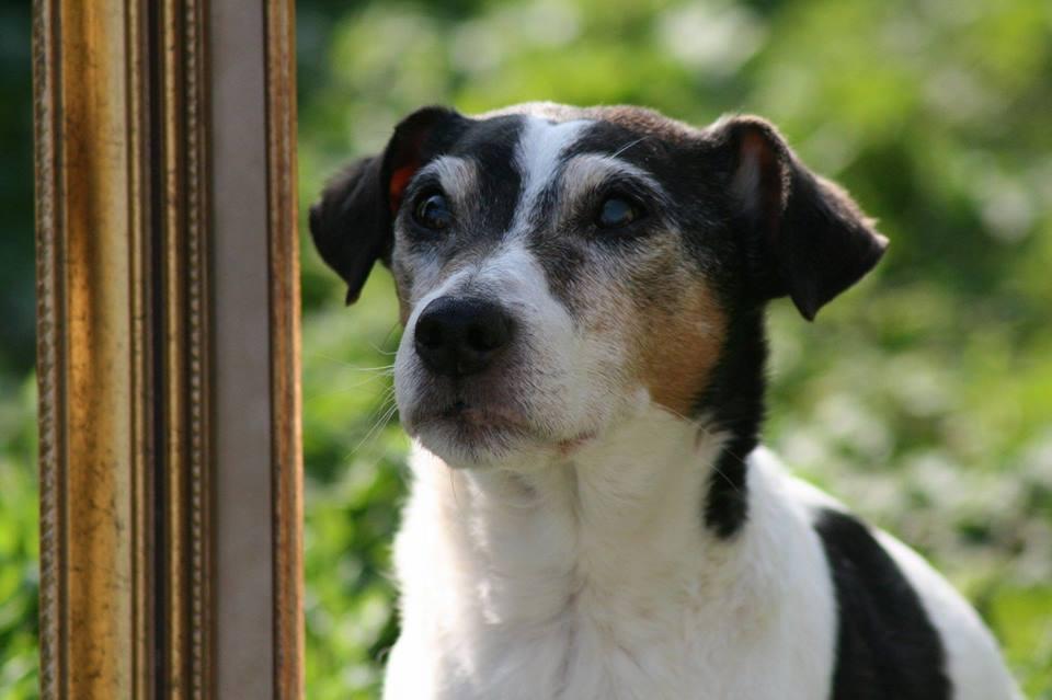 VEGAS - parson russel 14 ans - AVA à Cuy St Fiacre (76) 18342510