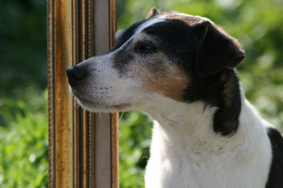 VEGAS - parson russel 14 ans - AVA à Cuy St Fiacre (76) 18423810