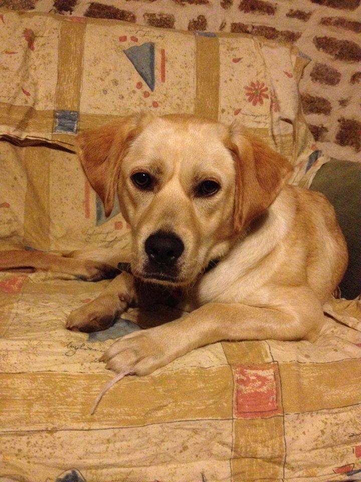 Mirabelle femelle labrador sable - Isaloun50 23376410